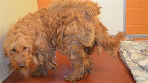 Neglected dogs receiving care from Kelowna SPCA | CBC News