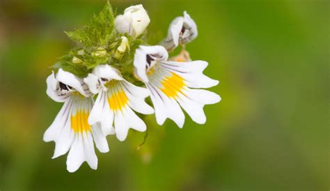 Eyebright, Euphrasia officinalis, Scrophulariaceae