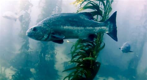Help Needed to Count Giant Seabass in Southern California