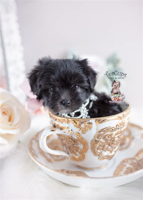 Maltipoo and Designer Breed Puppies For Sale | Teacups